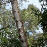 Healing Plants of Prey Lang 2