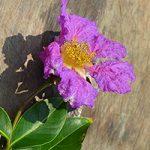 Healing Plants of Prey Lang